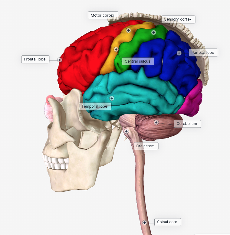 Human Body Systems Students Create Biodigital Brain Images